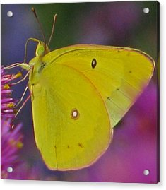 Sunshine Wings Acrylic Print