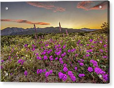 Acrylic Print featuring the photograph Super Bloom Sunset by Peter Tellone