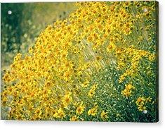 Superbloom Golden Yellow Acrylic Print by Amyn Nasser