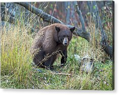 Surprised Bear Acrylic Print