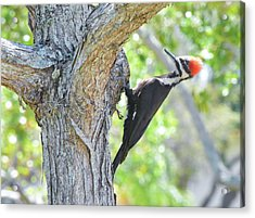 Surprised By Pileated Acrylic Print