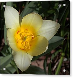 Surprising Sunny Tulip Acrylic Print by Liz Allyn