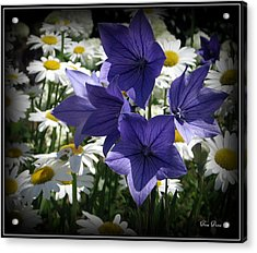Surrounded By Daisies Acrylic Print by Trina Prenzi