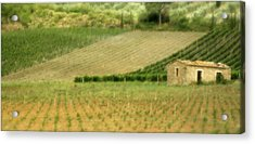 Surrounded By Vineyards Acrylic Print