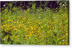Susans In A Green Field Acrylic Print