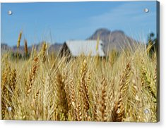 Sutter Buttes Wheat  Acrylic Print