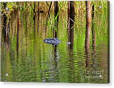 Acrylic Print featuring the photograph Swamp Stalker by Al Powell Photography USA