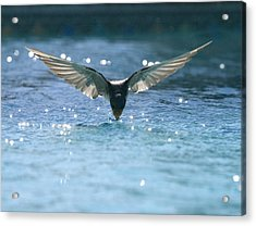 Swallow Drinks From Pool Acrylic Print by Bryan Allen
