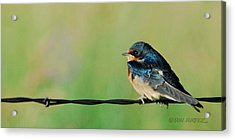 Acrylic Print featuring the photograph Swallow On Barbed Wire by Don Durfee