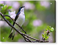 Swallow Song Acrylic Print by Christina Rollo