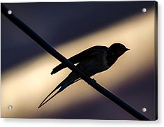 Swallow Speed Acrylic Print
