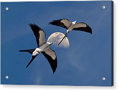 Swallow Tail Kites In Flight Under Moon Acrylic Print