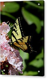 Swallow Tail On Mountain Laurel Acrylic Print