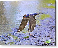 Swallow Tail Acrylic Print by Robert Pearson