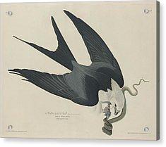Swallow Tailed Hawk Acrylic Print by Rob Dreyer