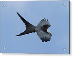 Swallow-tailed Kite #1 Acrylic Print by Paul Rebmann