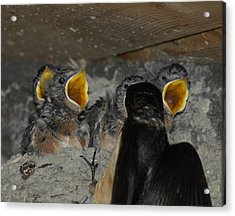 Swallows Opera  Acrylic Print by Ernie Echols