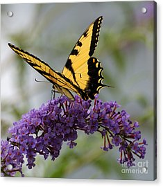 Swallowtail 2 Acrylic Print