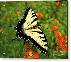 Swallowtail Among Lantana Acrylic Print by Sue Melvin