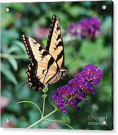 Swallowtail Butterfly 1 Acrylic Print by Sue Melvin