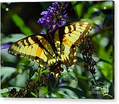 Swallowtail Butterfly #2 Acrylic Print by Robyn King