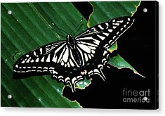 Swallowtail Butterfly- Close Acrylic Print