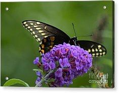 Swallowtail Butterfly Enjoying A Summer Breeze Acrylic Print by Robyn King