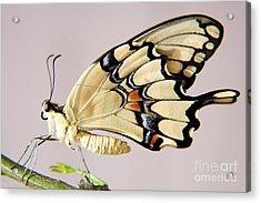 Swallowtail Butterfly Acrylic Print by Julia Hiebaum
