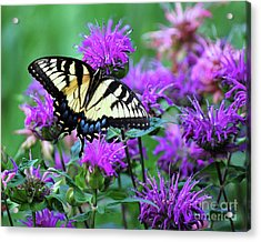 Swallowtail Butterfly Acrylic Print by Lila Fisher-Wenzel