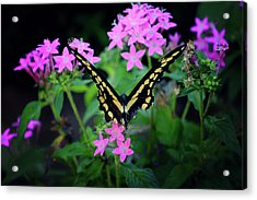 Acrylic Print featuring the photograph Swallowtail Butterfly Rests On Pink Flowers by Toni Hopper
