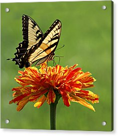 Swallowtail Butterfly - Zinnia Acrylic Print by Nikolyn McDonald