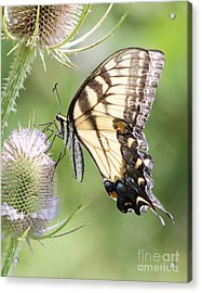 Swallowtail Delight Acrylic Print
