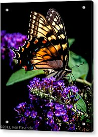 Swallowtail Feasting Acrylic Print by Ron Plasencia