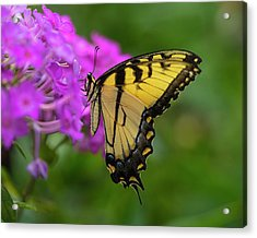 Swallowtail  Acrylic Print by Jeff Klingler