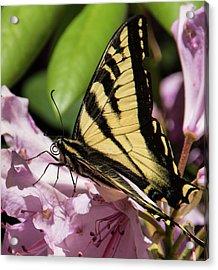 Swallowtail Butterfly Acrylic Print by Marilyn Wilson