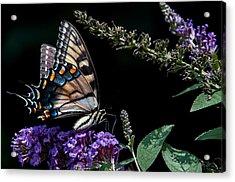 Swallowtail Posing Acrylic Print by Ron Plasencia