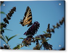 Swallowtail Acrylic Print by William Thomas