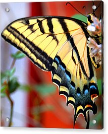 Swallowtail Wing Acrylic Print by Heather S Huston