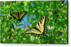 Swallowtails Acrylic Print