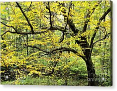 Swamp Birch In Autumn Acrylic Print by Thomas R Fletcher
