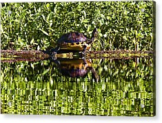 Swamp Turtle Sunning On A Log Acrylic Print by Michael Whitaker