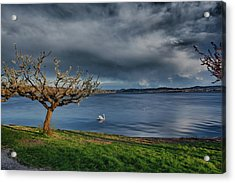 Swan And Tree Acrylic Print