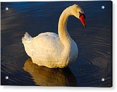 Swan Beauty Acrylic Print