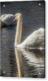 Acrylic Print featuring the photograph Swan by David Bearden