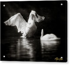 Swan Display Acrylic Print