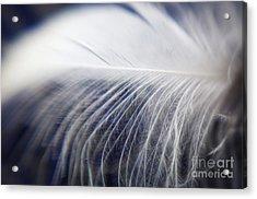 Swan Down Acrylic Print