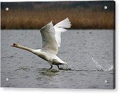 Swan During Take Off Acrylic Print