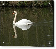 Swan Facing Left Acrylic Print by Shannon Labout