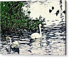 Acrylic Print featuring the photograph Swan Family On The Rhine 2 by Sarah Loft