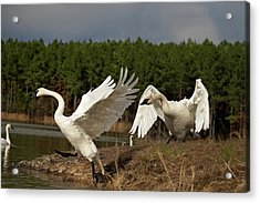 Swan Fight Acrylic Print